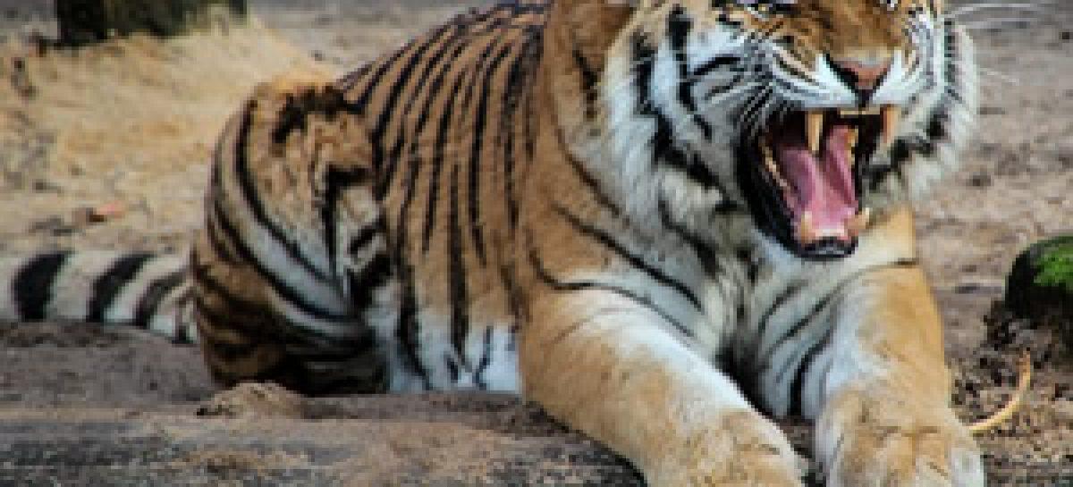 40 tote Tigerbabys im Tiefkühler